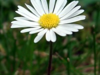 Bellis Perennis - The last daisy